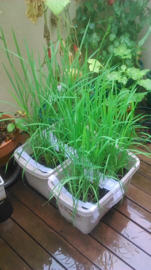 家庭菜園 稲のプランター水田