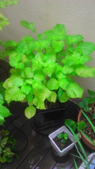 家庭菜園 シソ栽培 1つの鉢植えに9本