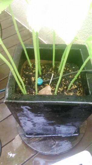 家庭菜園 シソ栽培 今年は1つの鉢に9本植えてます