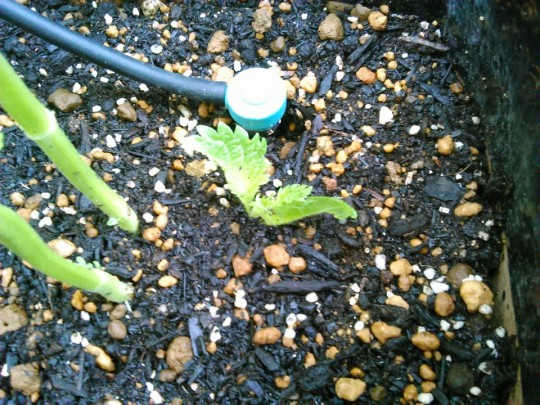 テラスの家庭菜園のしそ。摘心した成長点を植えてみた