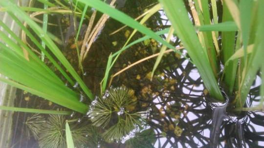 家庭菜園 稲のプランター水田に楊貴妃メダカ繁殖用に水草