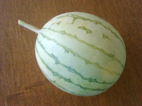 ガーデニングで作った小玉すいか「ひとりじめ7」の収穫2