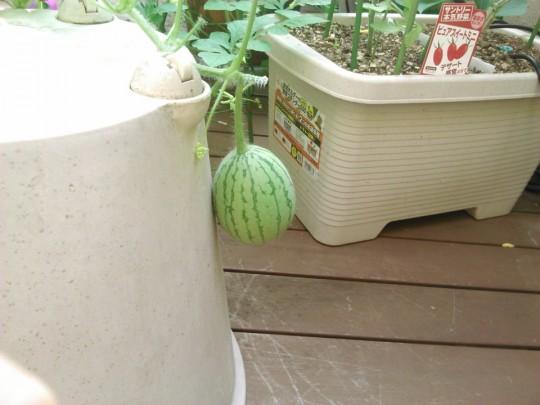 小玉スイカの栽培3_[0]