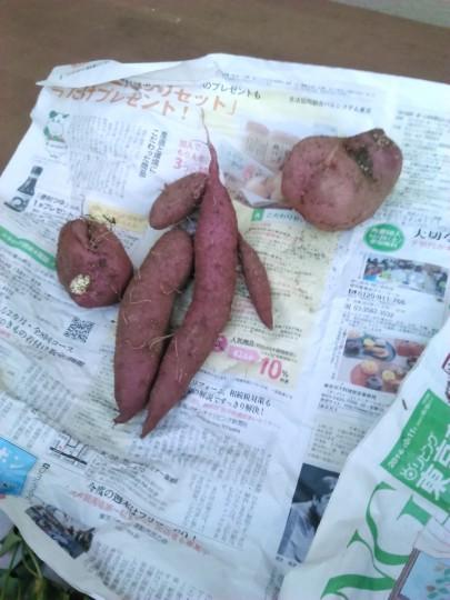 ガーデニングのサツマイモの収穫2泥を落としたところ