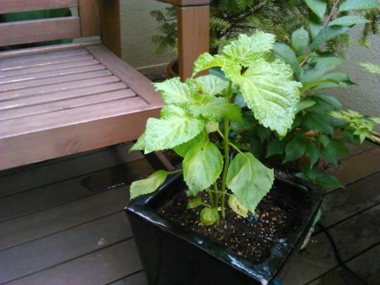 しそを塗りの鉢に植え替え1