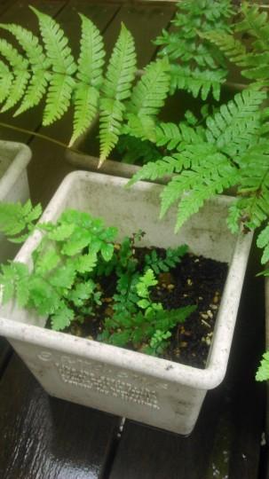 家庭菜園 シダの栽培3