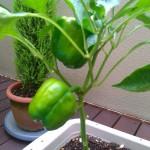 パプリカ 栽培 新しい実