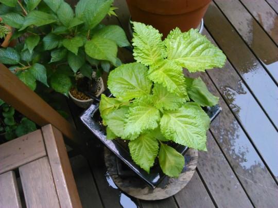 しそを塗りの鉢に植え替え3
