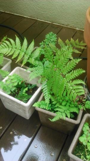 家庭菜園 シダの栽培1