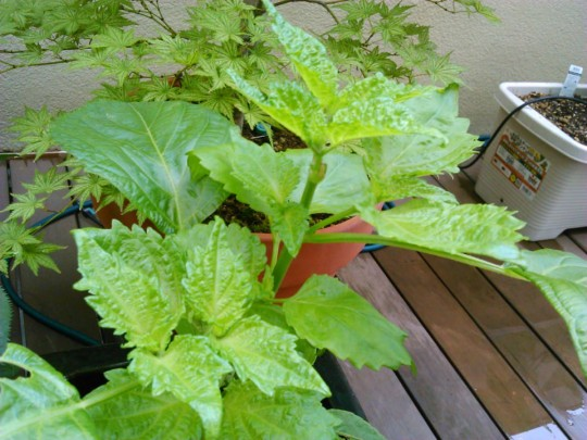 テラスの家庭菜園のしそ。摘心したら葉がわしゃわしゃと