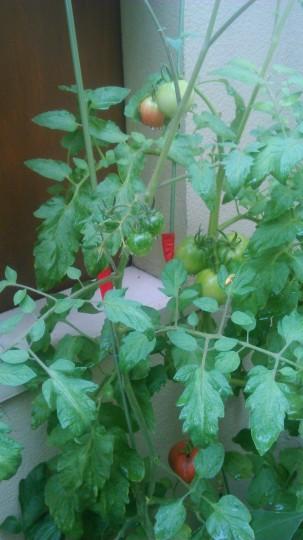 家庭菜園 トマトとミニトマト2